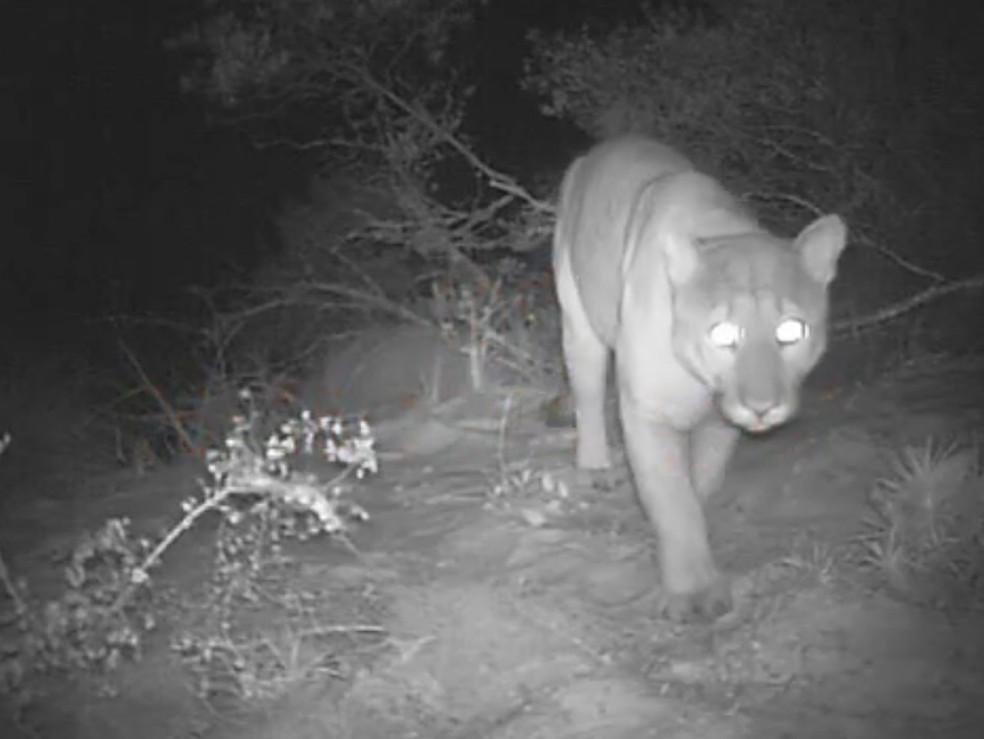 Onça parda, também conhecida como puma, foi flagrada pelas câmeras do local mais de 15 anos após o último registro oficial no parque (Foto: Divulgação/Sema)