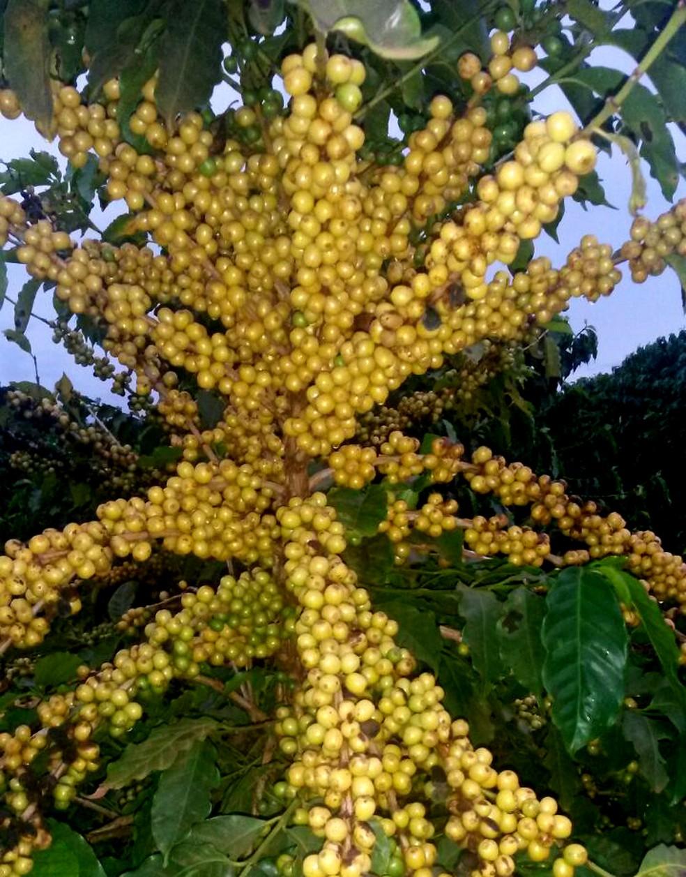 A cultivar Obatã 4739, desenvolvida pelo IAC, em Campinas, apresenta maturação média para tardia (Foto: Júlio César Mistro/IAC)