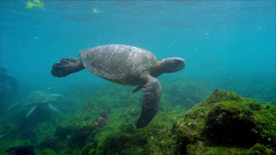 Galápagos é um dos poucos lugares do mundo ainda seguro para as tartarugas verdes