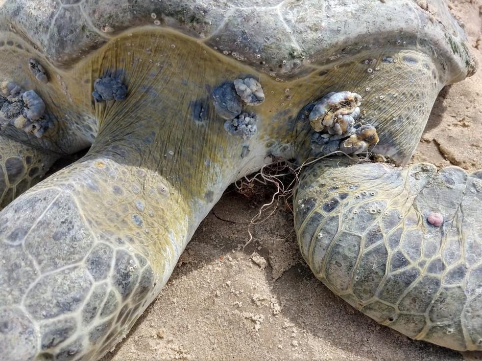 A pata da tartaruga encontrada na Praia do Mucuripe estava presa por um fio — Foto: Halisson Ferreira/SVM
