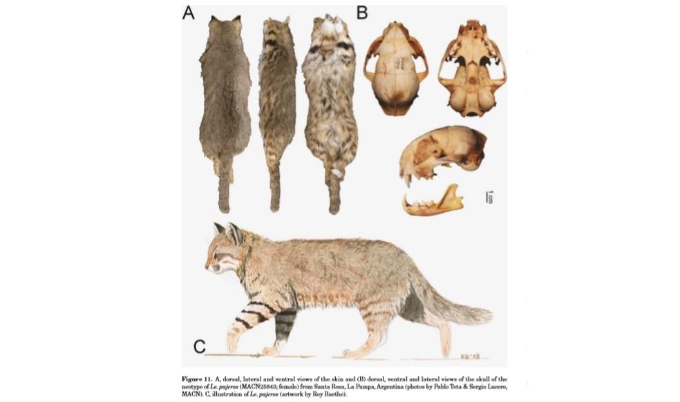 Ilustração, pelagem e fotos do crânio do Leopardus pajeros — Foto: Pablo Teta e Sergio Lucero; arte Roy Baethe/ Divulgação artigo