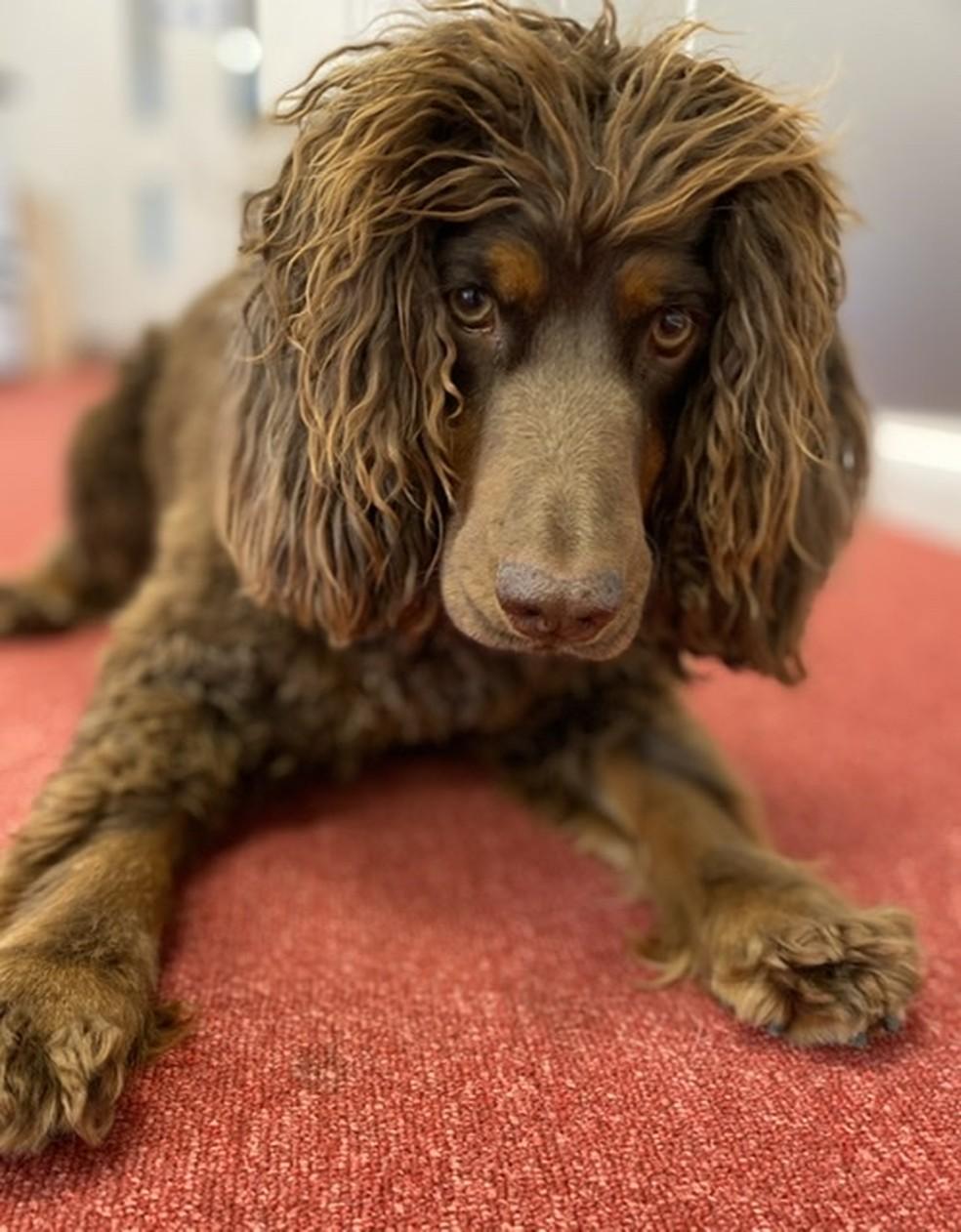 Cachorro Asher foi um dos primeiros a iniciar treinos para detectar o cheiro da Covid-19 — Foto: Twitter Medical Detection Dogs