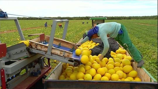 Lavouras de melão estão em plena colheita no RN