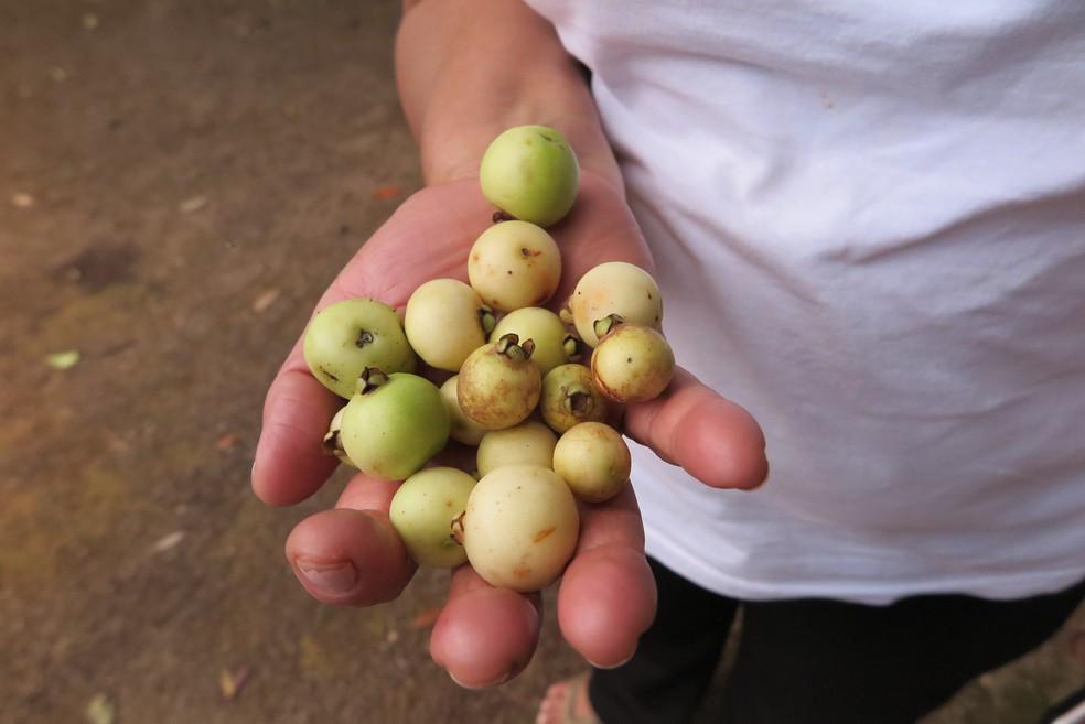 Araçá é um dos frutos encontrados na região — Foto: Antonio Rodrigues/SVM