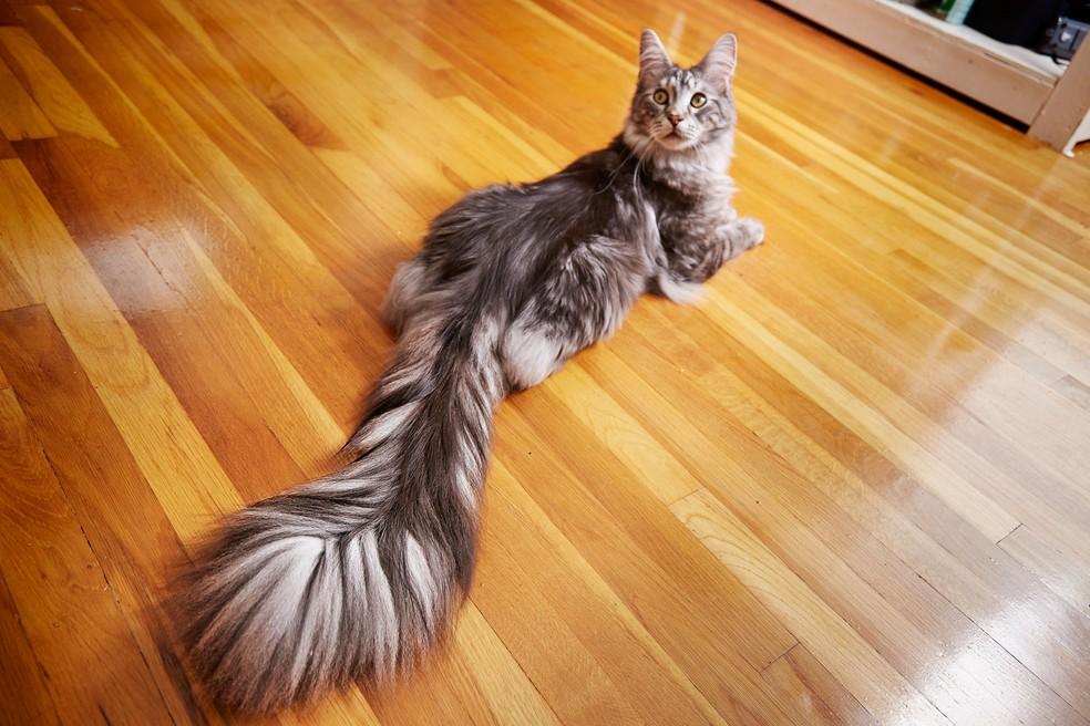 O gato Cygnus (Foto: Kevin Scott Ramos/Guinness World Records 2018 via AP)