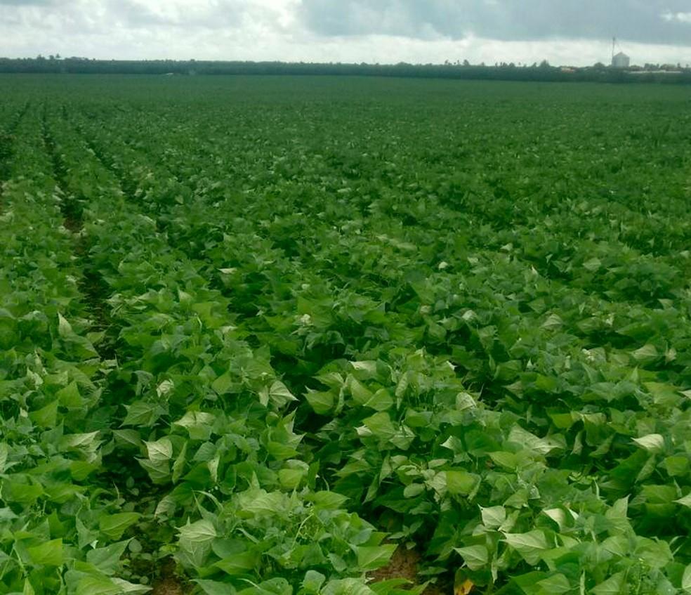 Colheita de feijão é prejudicada por excesso de chuva em Adustina, na Bahia (Foto: Roberto Santos/Arquivo pessoal)