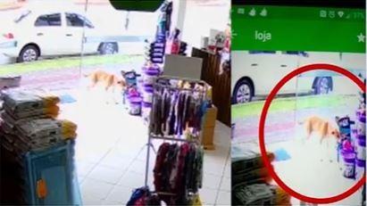 Vídeo: Cachorro é flagrado ao 'furtar' brinquedo de pelúcia em loja de SC