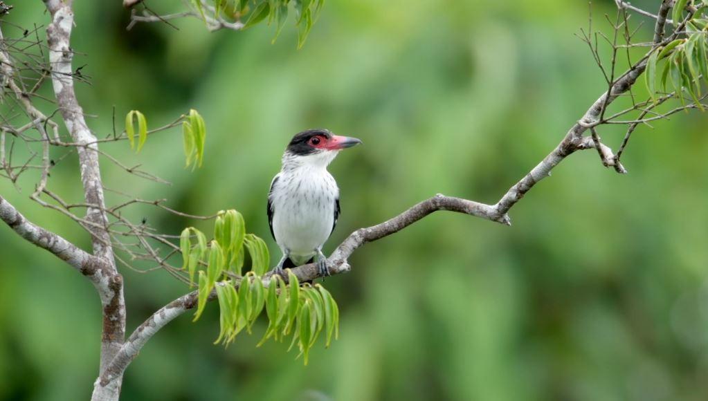 Websérie 'Cantos da Amazônia' une profissionais em defesa das aves
