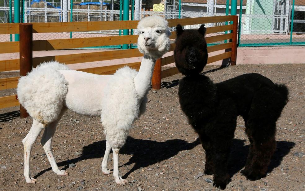 Foto mostra duas alpacas (Foto: Ilya Naymushin/Reuters)