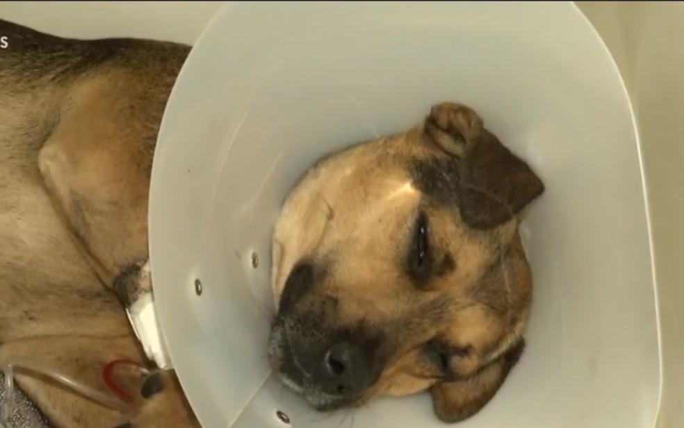 Donos são suspeitos de deixar pit bulls atacarem outros cães em parque de Anápolis  — Foto: Reprodução/TV Anhanguera