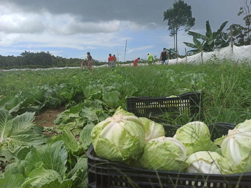 Produtor doou 8 toneladas de repolho em Mojuí dos Campos — Foto: Kamila Andrade/G1