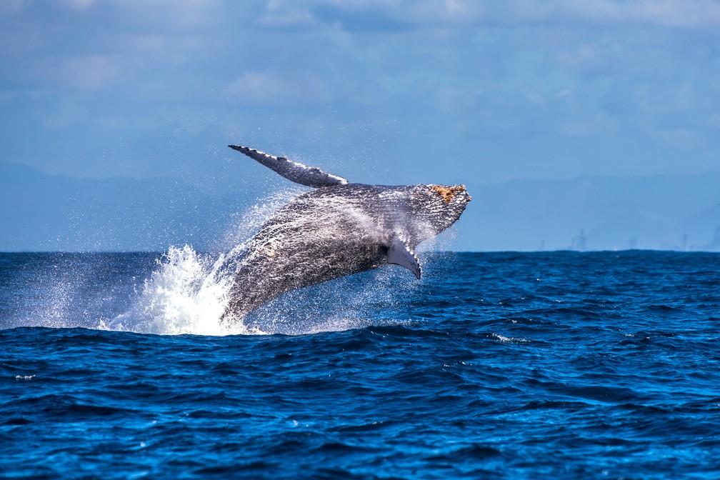 Na imagem, baleia no litoral do Espírito Santo. Segundo estudo, baleias cresceram muito para não perder calor, mas também tiveram que conter o crescimento (Foto: Leonardo Merçon/Últimos Refúgios)