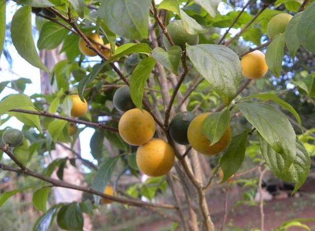 Fruta Guaçatungarana (Foto: Hélton Josué Teodoro Muniz/Divulgação)