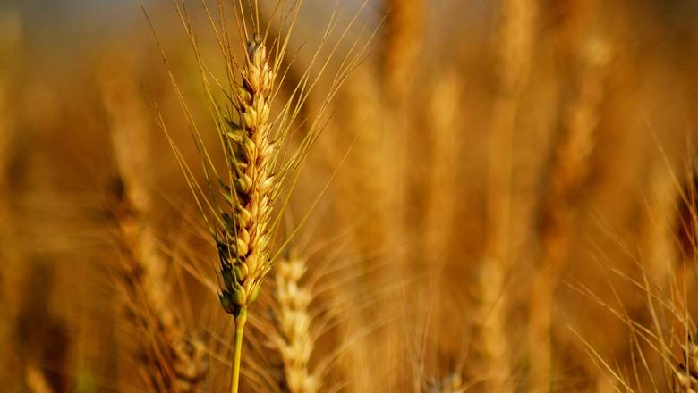 trigo-safra-cereal-grao (Foto: Nupur Das Gupta/CCommons)