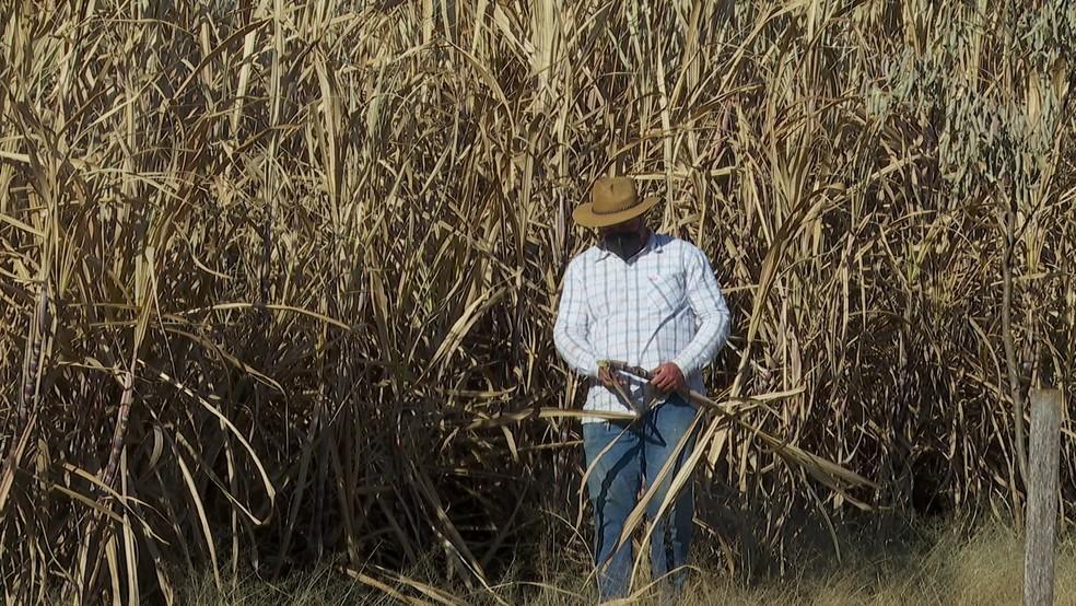 Tempo frio também danificou plantações de cana-de-açúcar — Foto: Reprodução/EPTV