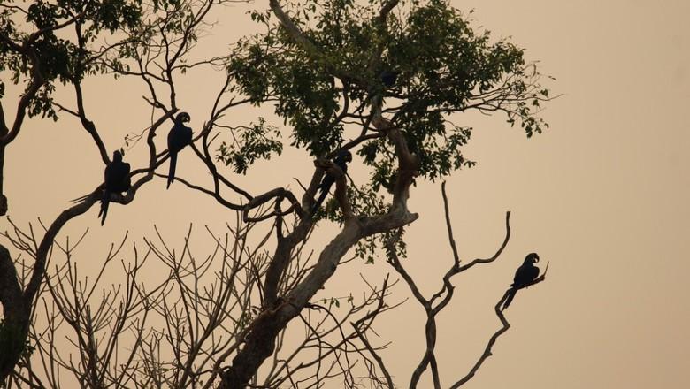 araras-azuis-mato-grosso-pantanal-queimadas (Foto: Divulgação/Ana Maria Barreto)