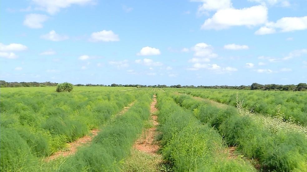 Desafiando o clima, produtores rurais do RN plantam mais de 100 hectares de aspargos no semiárido nordestinos (Foto: Reprodução/Inter TV Costa Branca)