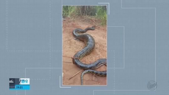 Cinco suspeitos de matar cobra sucuri de 6 metros são multados em R$ 33 mil em Araraquara