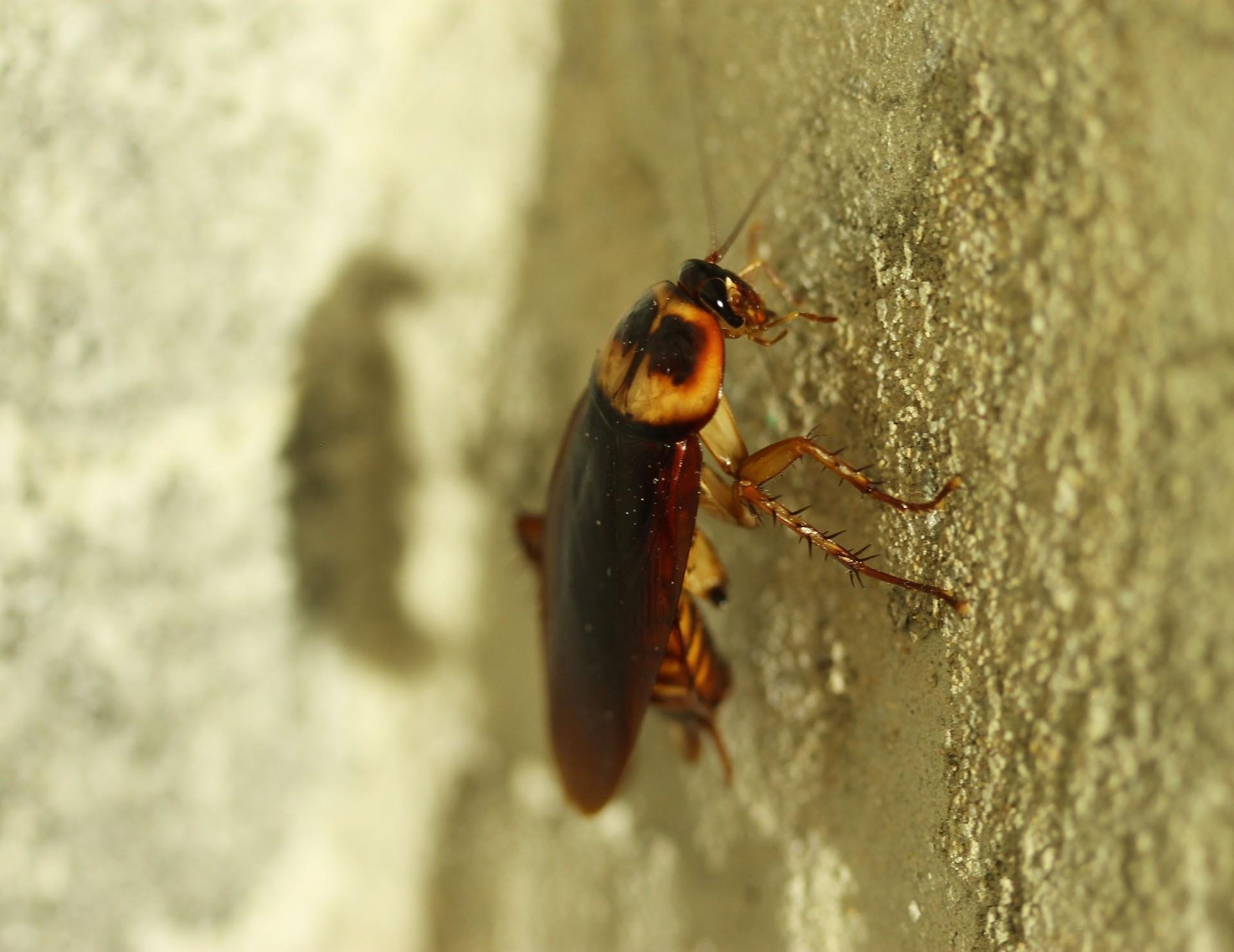 Invasão de baratas no calor? Entenda por que o inseto aparece mais no verão