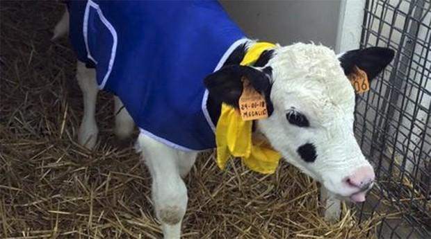 Bezerro veste um casaco. Frio intenso na Europa castiga fazendas  (Foto: Ansa)