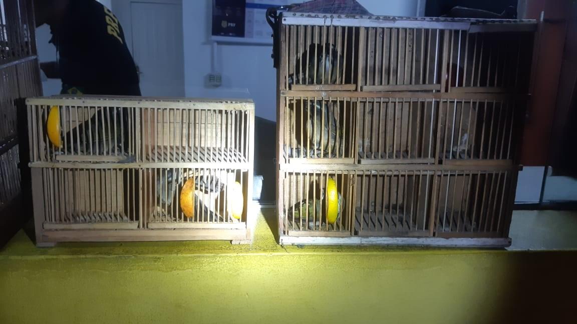 PRF resgata aves silvestres transportadas ilegalmente na BR-393, em Barra do Piraí