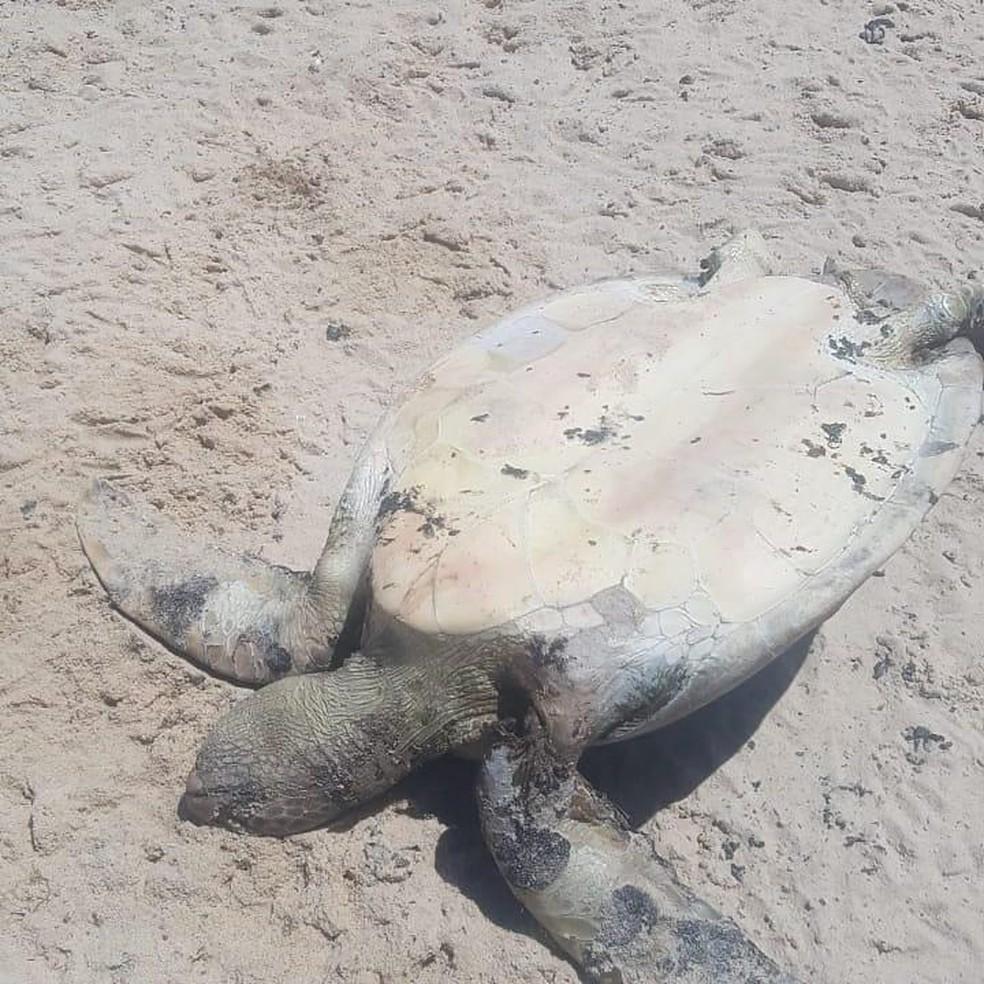 Tartaruga morta com manchas de óleo foi encontrada na Praia do Cumbuco — Foto: Reprodução