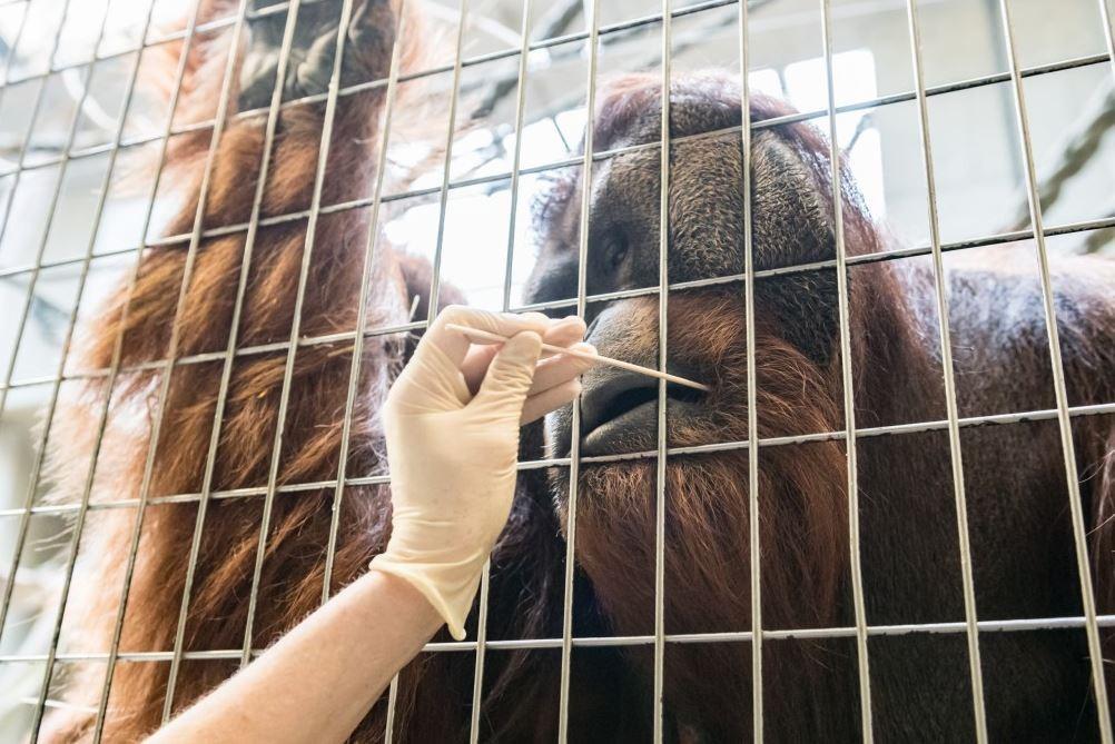 Vendel e suas irresistíveis bochechas de orangotango. (Foto: Basel Zoo)