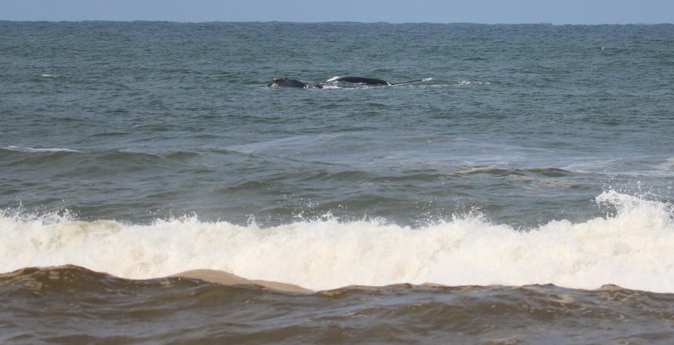 Baleias Franca costumam aparecer nesta época do ano (Foto: Osvaldo Raupp/arquivo pessoal)