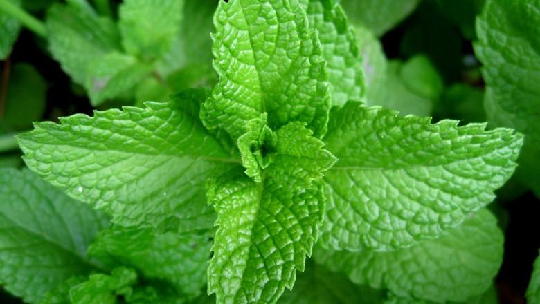hortela-cultivo-horta (Foto: Creative Commons)
