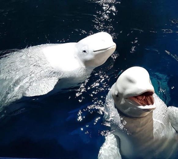 Duas belugas são transportadas de cativeiro para santuário no oceano (Foto: Reprodução/Instagram belugawhalesanctuary)