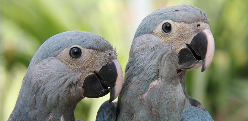 Ararinha-azul (Foto: Divulgação/ Ministério do Meio Ambiente)