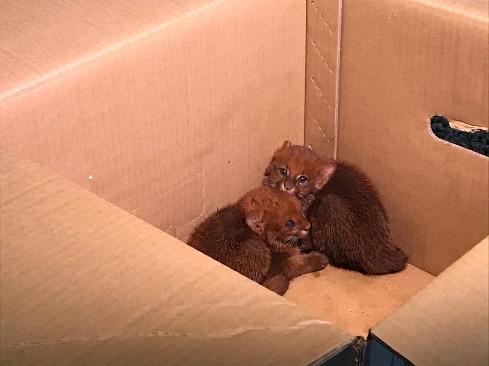 Ameaçados de extinção, dois filhotes de gato-mourisco foram encontrados sozinhos em mata em Campo Novo do Parecis — Foto: TV Centro América