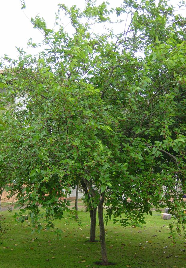 amora-frutifera (Foto: Divulgação)