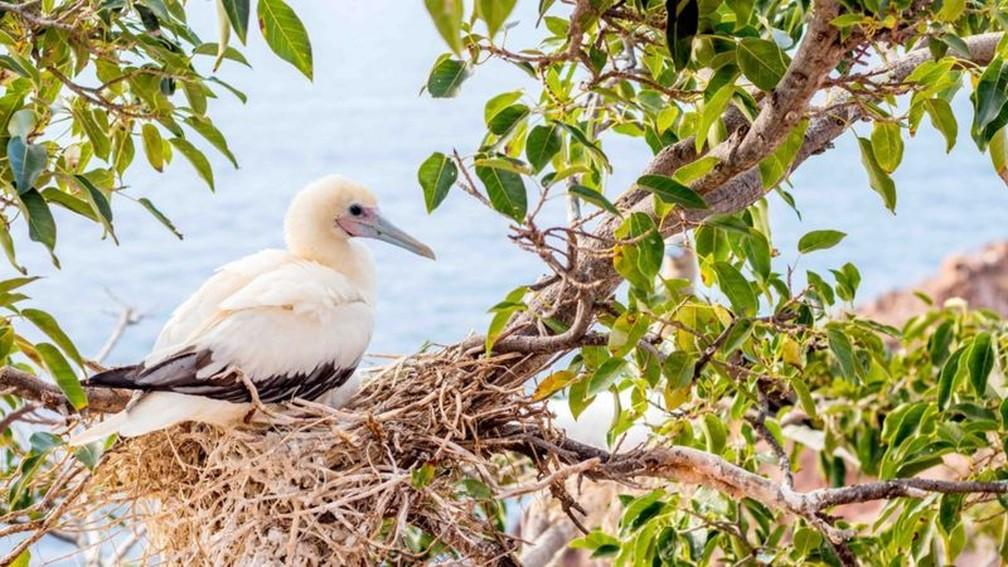 Este atobá-de-patas-vermelhas foi avistado pela equipe que retornou à ilha — Foto: Edward Marshall via BBC
