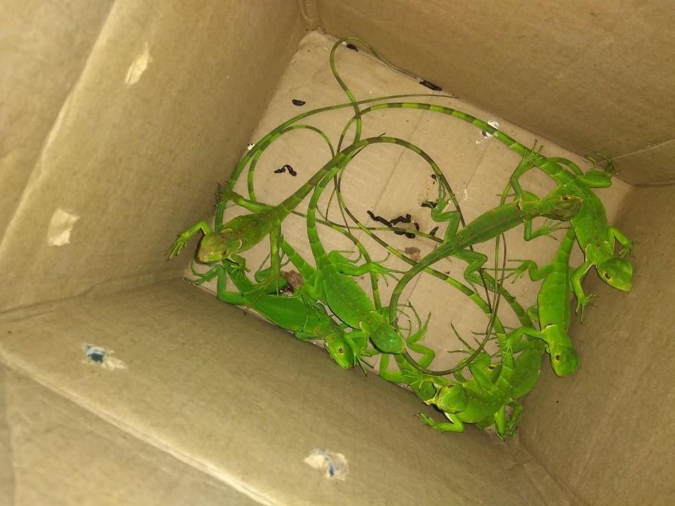 Iguanas foram encontradas em caixas de papelão em San Martin, na Zona Oeste do Recife (Foto: Agência Pernambucana de Meio Ambiente/Divulgação)