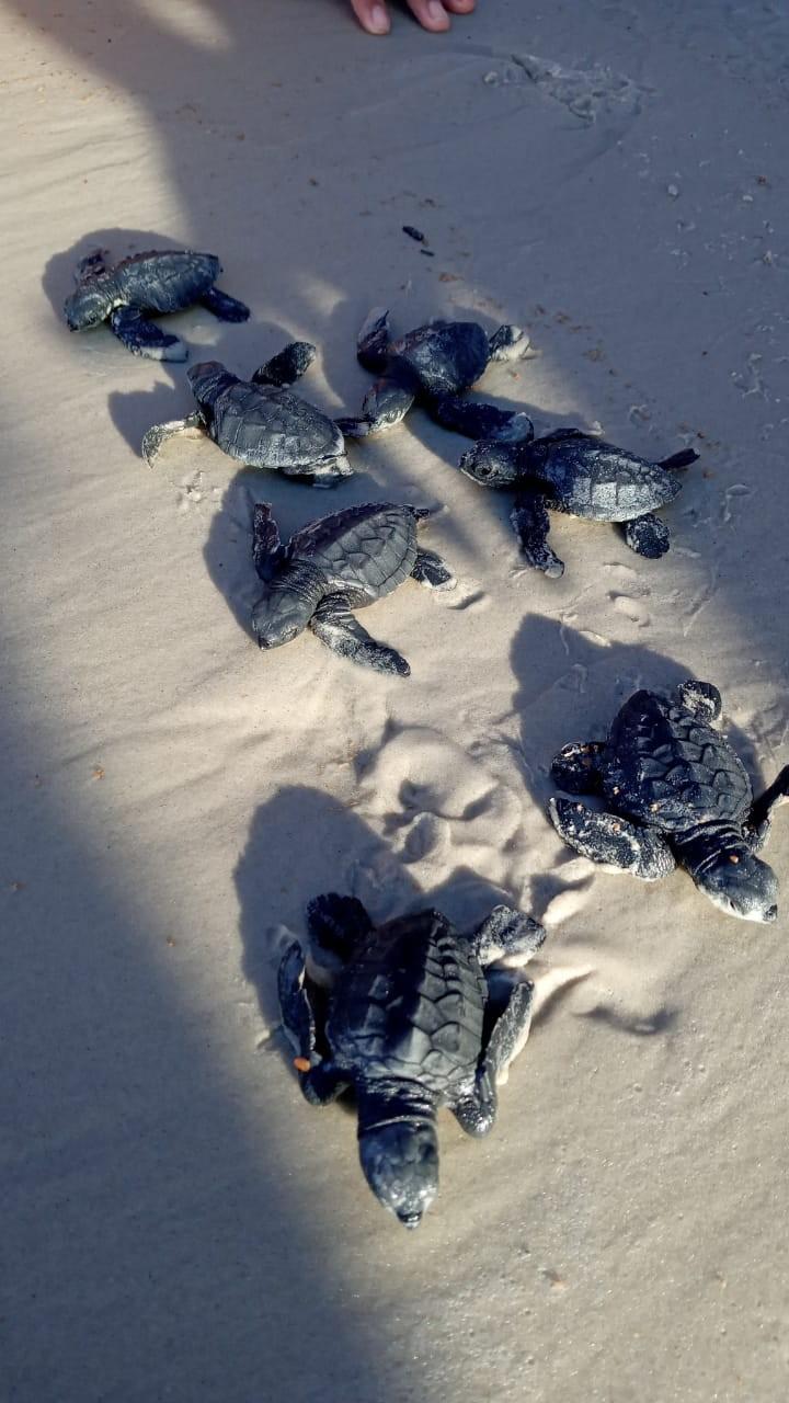 Sem movimentação de banhistas, filhotes de tartaruga nascem na praia da Princesa em Algodoal