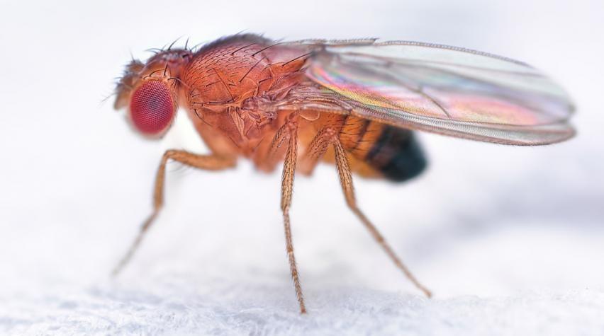 Drosophila melanogaster, mais conhecida como mosca da fruta (Foto: Google images/ CC)