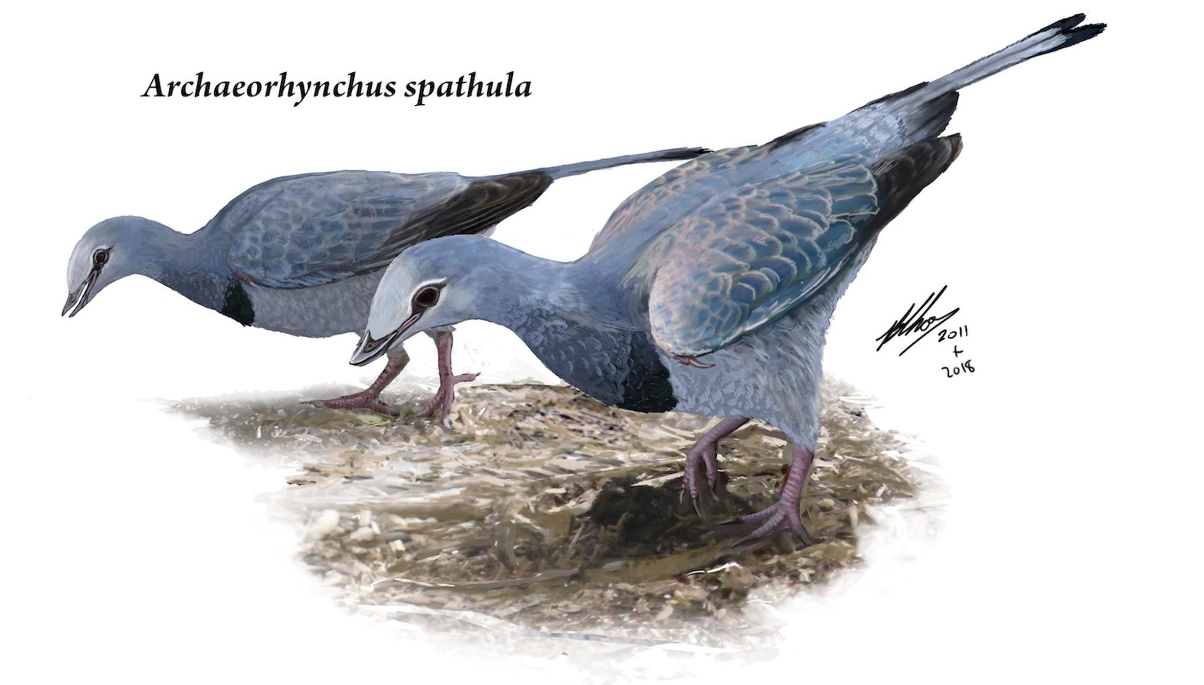 Archaeorhynchus spathula (Foto: Brian Choo)