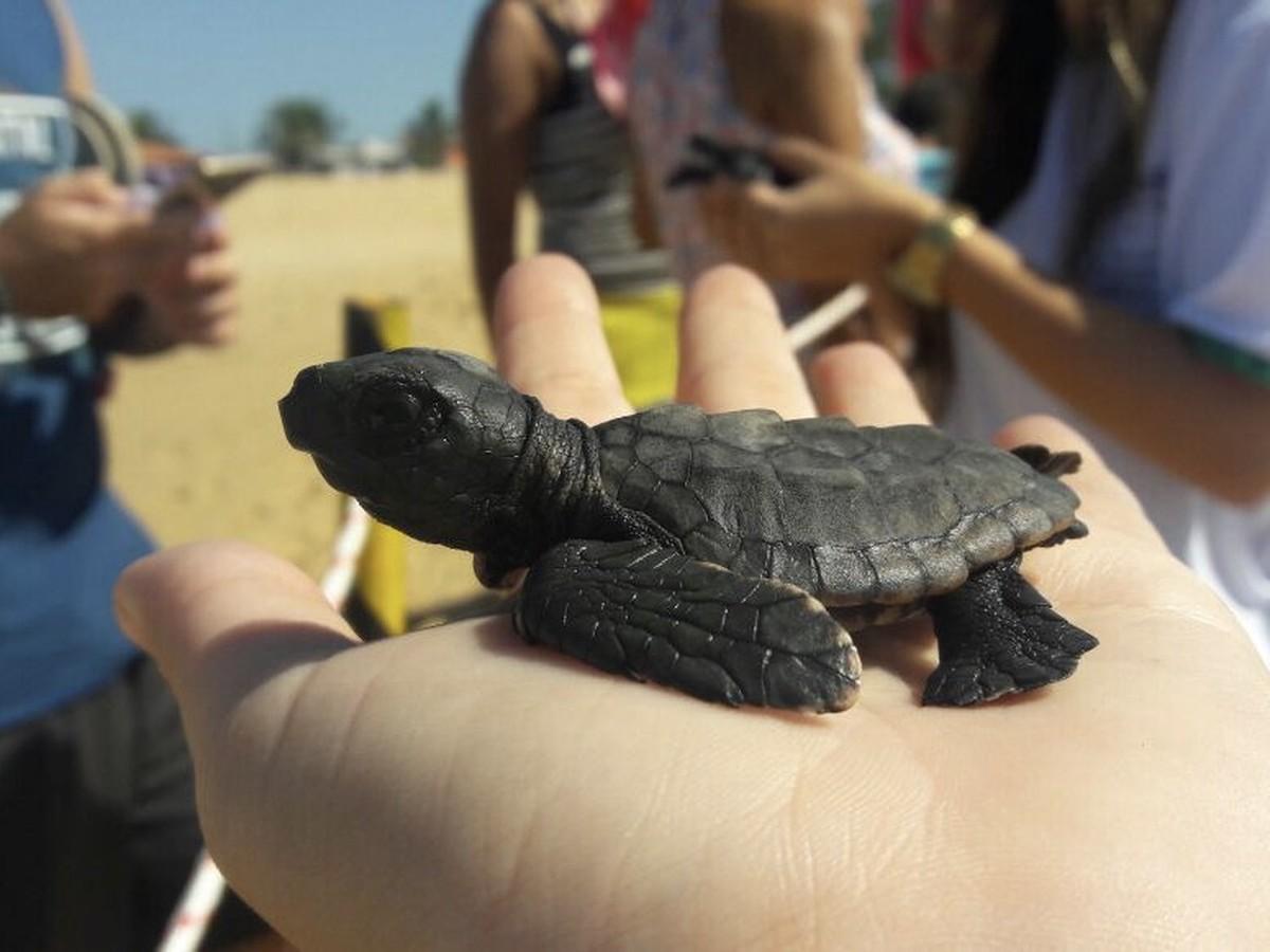 Soltura de filhotes de tartarugas marinhas desperta consciência ambiental na praia do Farol, em Campos, no RJ