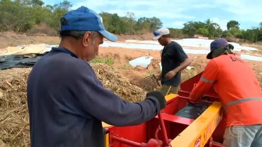 Produção de silagem ajuda na alimentação do gado durante estiagem no Piauí