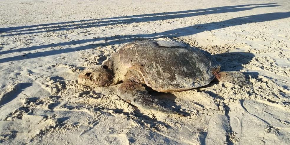 Tartaruga adulta da espécie oliva é encontrada morta em praia de Ilhéus, no sul da Bahia — Foto: Projeto (A)mar