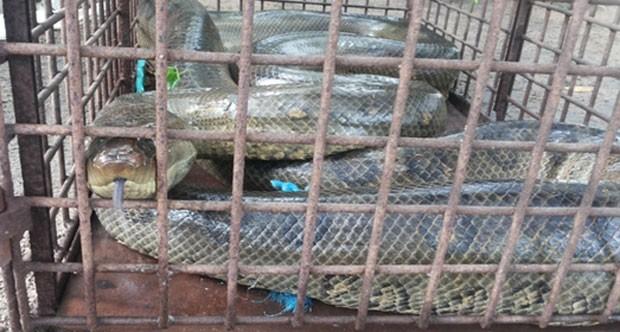 Cobra de seis metros é encontrada por populares em Parnaíba (Fot Thiago Arcanjo/Proparnaiba.com)