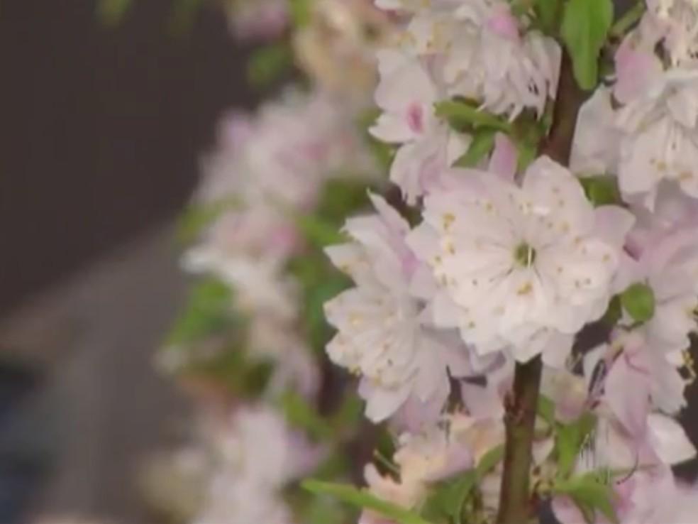 Cerejeiras estão em vários lugares do Alto Tietê — Foto: Reprodução/TV Diário