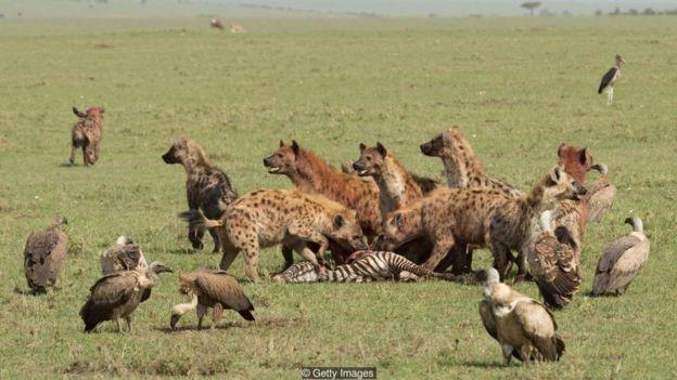 As hienas fêmeas são maiores que os machos e determinam a direção em que o grupo deve seguir (Foto: Getty Images via BBC News Brasil)