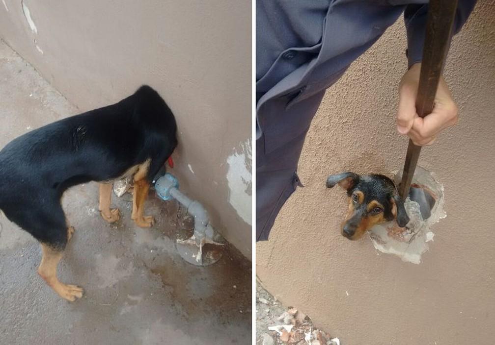 Cachorra ficou com a cabeça presa no cano que dá acesso ao hidrômetro da casa em Assis (Foto: Corpo de Bombeiros / Divulgação)