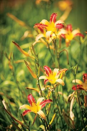 Lírio | Conhecido como flor de corte, o lírio é uma opção para formar canteiros e maciços (Foto: Gui Morelli)