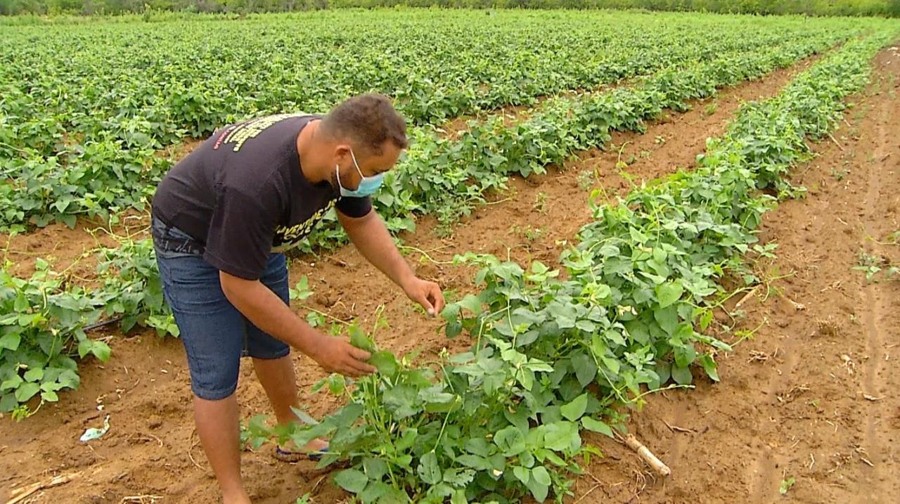 Agricultores investem em produção de feijão verde irrigado no Oeste potiguar: 'mudou minha vida'