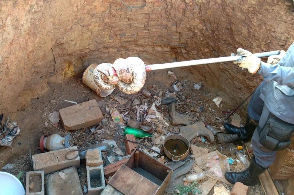 Jiboia foi encontrada em um galinheiro (Foto: Corpo de Bombeiros/ Divulgação)