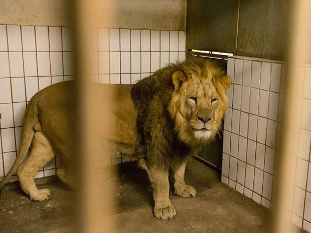 Zoológico de Copenhague apresenta novo leão; dois idosos e dois filhotes foram sacrificados com a chegada do animal (Fot Reprodução/Facebook/Zoologisk Have)