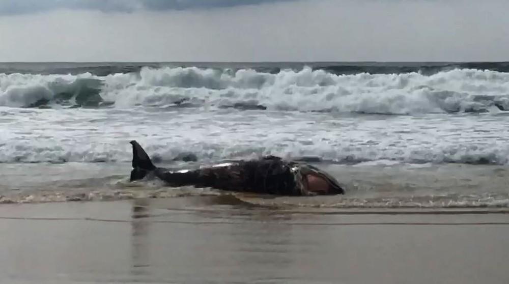 Baleia juvenil de 7 metros é encontrada morta na praia dos Ingleses em Florianópolis